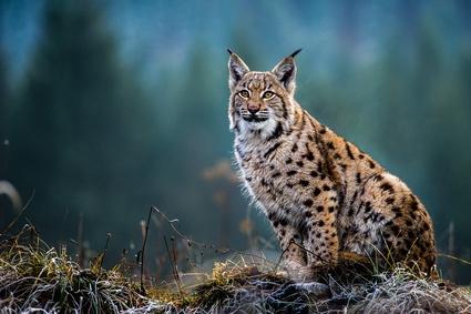 Webinaire: «Le Lynx dans tous ses états»