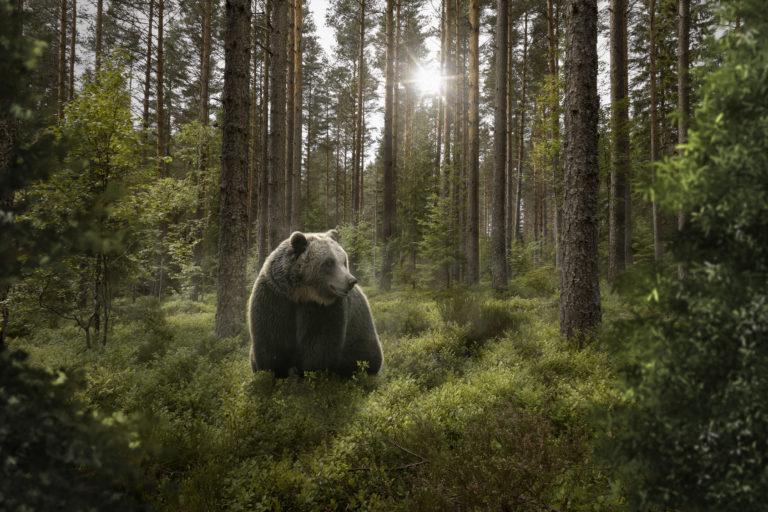 L'ours brun en France