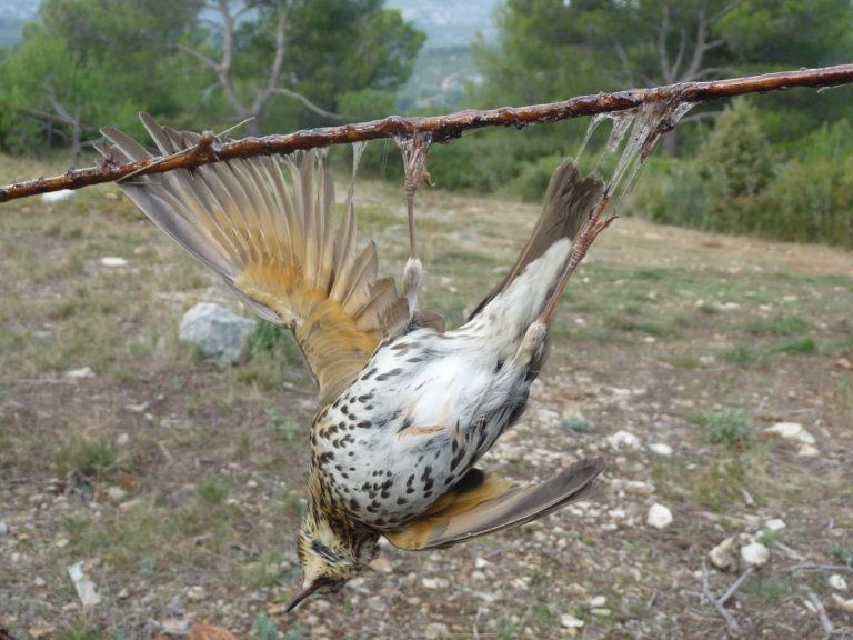 La chasse à la glu a du plomb dans l'aile