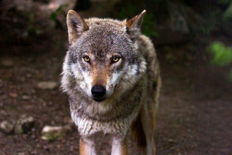 Le retour du loup en Bretagne, fantasme ou réalité ?