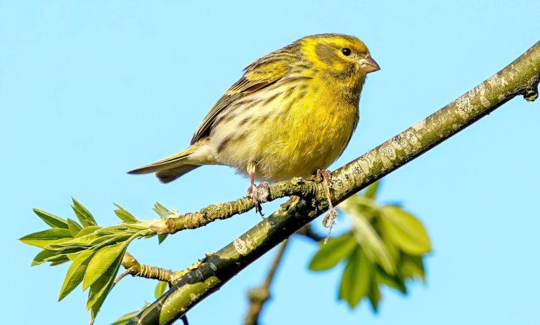 🔻Prison ferme pour un braconnier d'oiseaux protégés