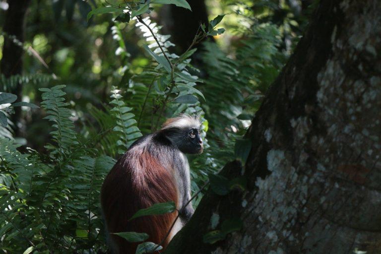 🔻Comment les primates réagissent aux changements climatiques