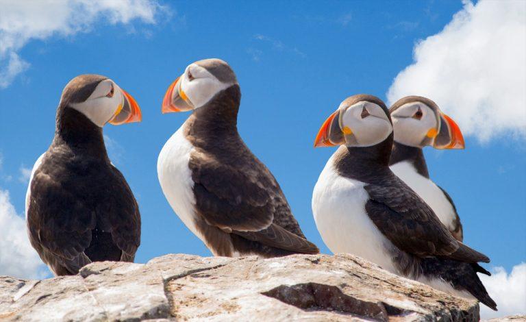 Lancement du projet européen LIFE PanPuffinus pour protéger deux oiseaux marins emblématiques