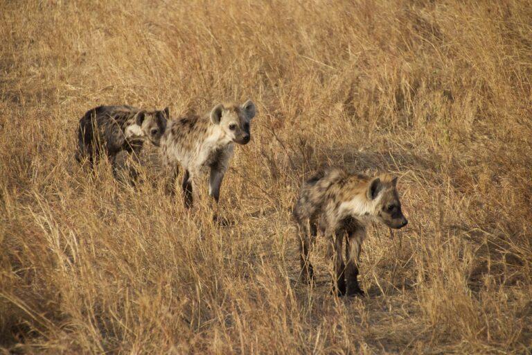 🔻 Chez les hyènes (aussi), la classe sociale induit la longévité