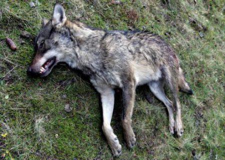 Le corps d'une louve retrouvé devant une mairie des Hautes-Alpes