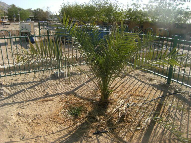 Dans le désert israélien, la résurrection de dattiers vieux de 2.000 ans