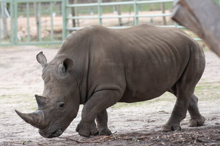 Le doyen des rhinocéros blancs meurt dans un zoo italien